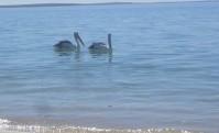 Pelikanpärchen am Strand