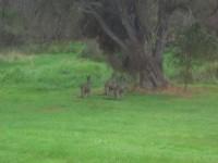 Und Kängarus gibt es hier auch. Diese waren keine 15 Meter weit weg